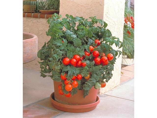 как ухаживать за помидорами балконное чудо