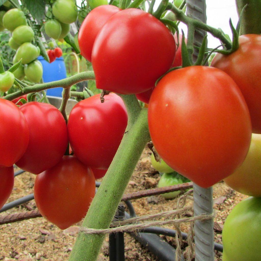 Сорт томата подарок кубани отзывы