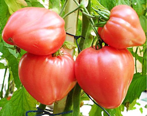 помидоры бычье сердце