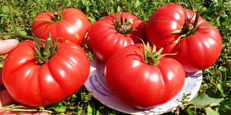 выращивать помидоры бычье сердце