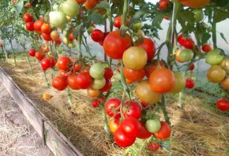 томат Евпатор выращивание