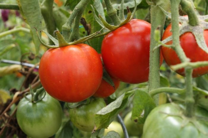 помидоры взрыв уход
