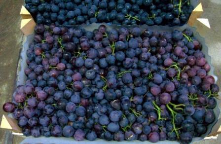 виноград кардинал урожай