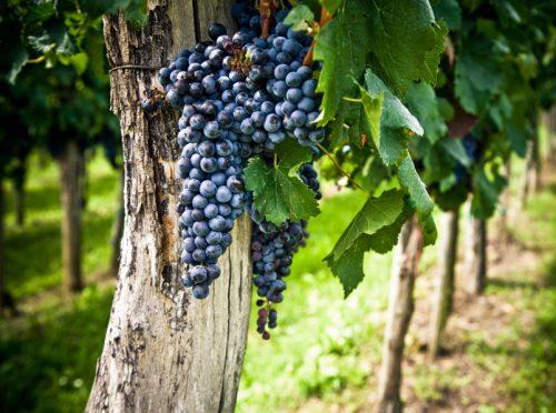 Вино из винограда Мерло