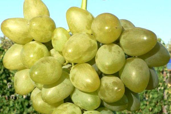 виноград монарх описание