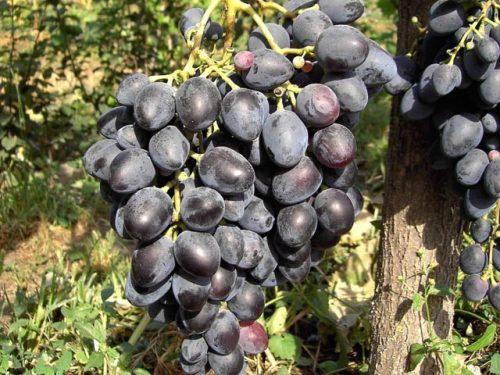 Виноград надежда азос ягоды