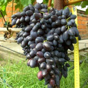 профилактика винограда