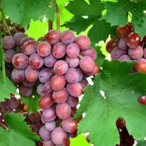 плюсы и минусы винограда