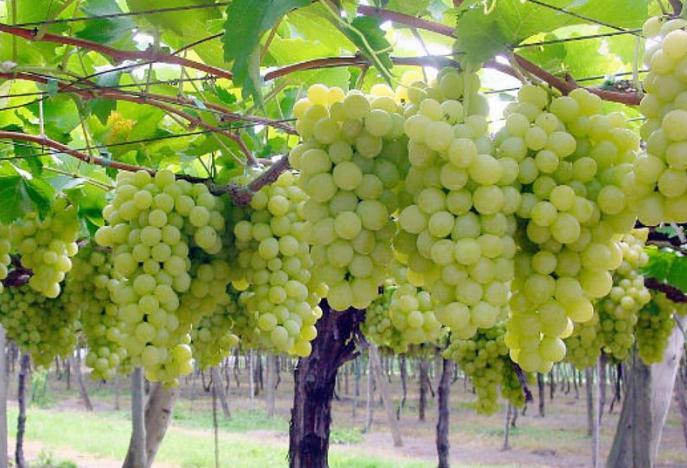 Виноград супер экстра описание