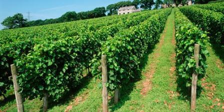 виноград кардинал выращивание