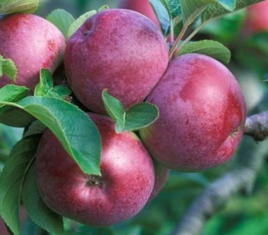 яблоки спартан описание
