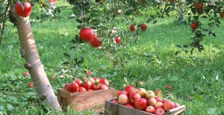 урожай яблони медуница