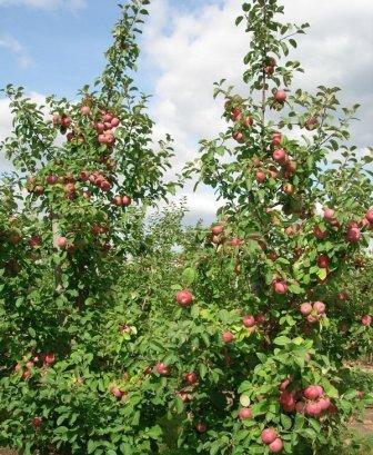 яблони лобо характеристика