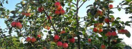 яблони без цитоспороза