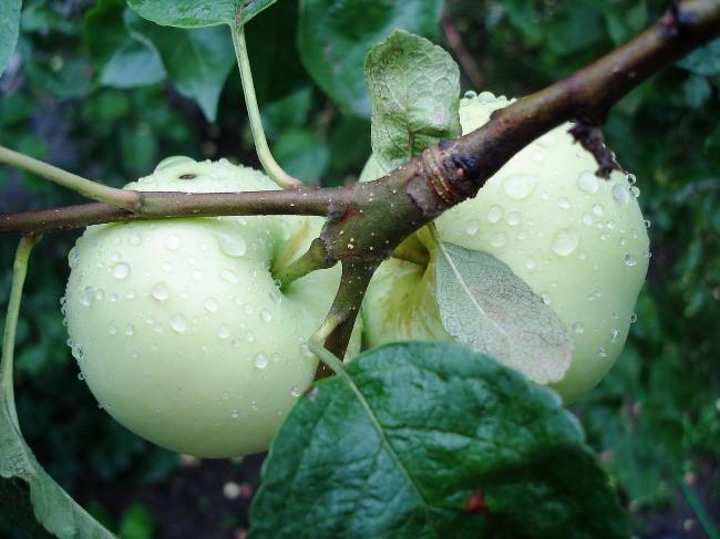 саженец яблони белый налив