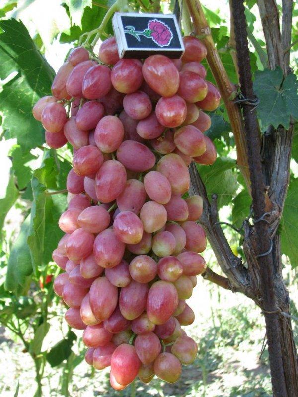 ягоды сорта Анжелика