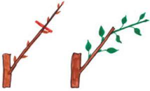 как правильно обрезать саженцы яблонь