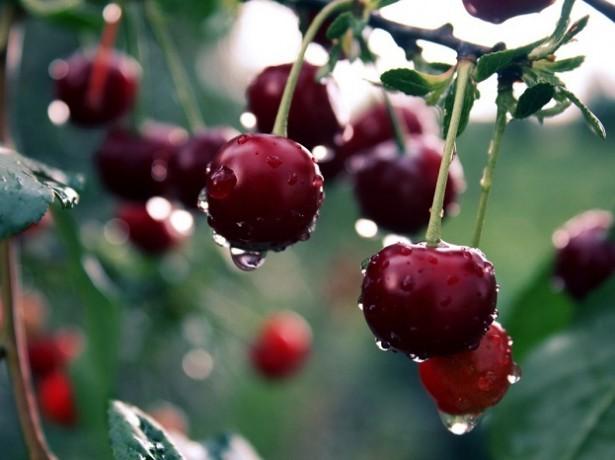 саженец вишни весной