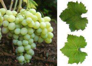 Уход за виноградником сорта Деметра