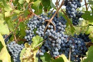 посадка и уход за виноградом пино нуар