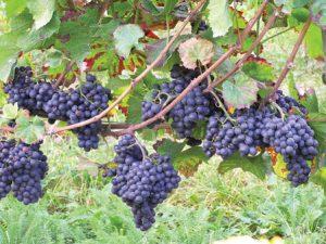 особенности сорта винограда пино нуар
