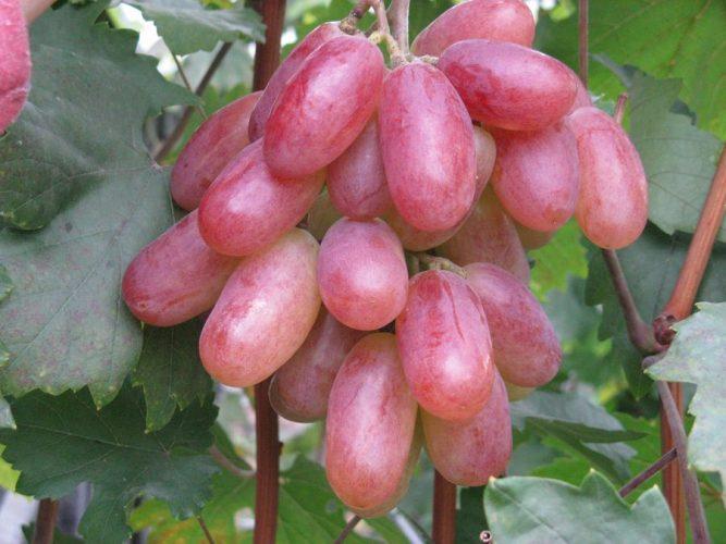 характеристика сорта винограда преображение