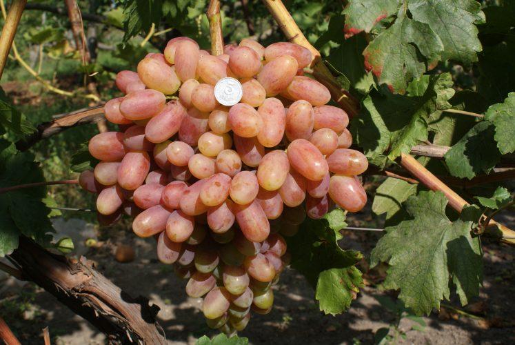 виноград преображение описание сорта