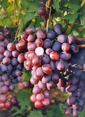 уход за виноградом Томайский