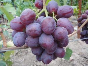 Болезни и вредители винограда Томайский