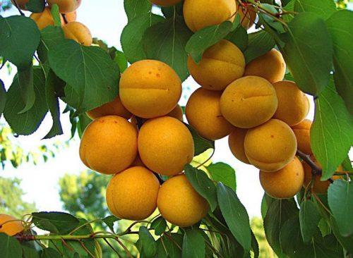 сорт абрикос погремок
