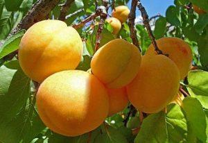 плюсы и минусы сорта абрикоса погремок