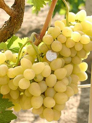 Зарница виноград описание