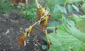 симптомы болезней малины