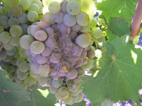 гнили винограда