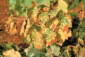 как бороться с хлорозом винограда