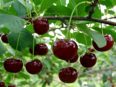 размножение вишни