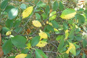 лечение коккомикоза вишни