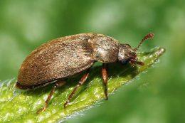 народные рецетпы против малинного жука