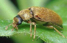 появление малинного жука