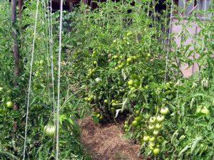 рекомендации для мульчирования томатов