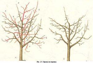 схема 1 обрезки яблони