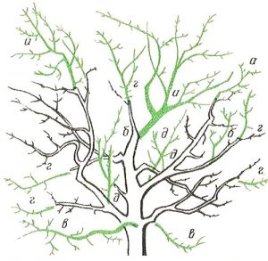 схема 2 обрезки яблони