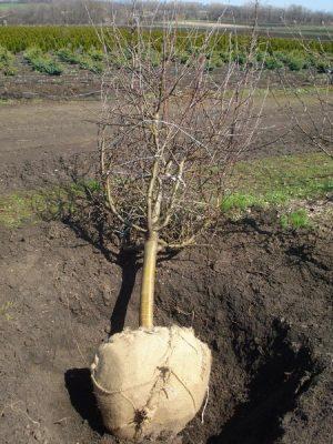 пересадка вишни осенью