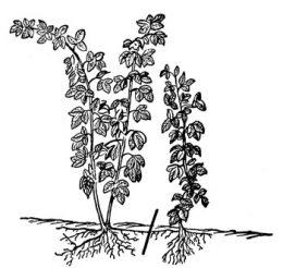 размножения малины