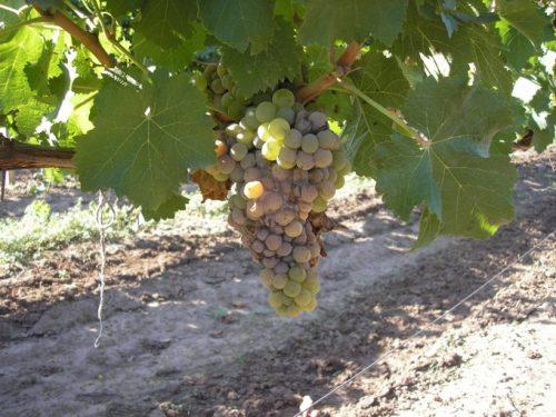 описание гнили винограда