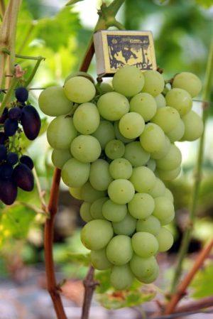 особенности сорта винограда агрус