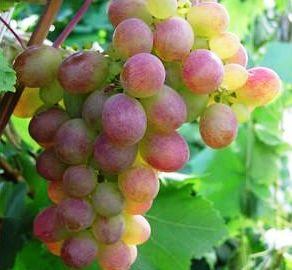 особенности винограда амирхан