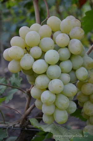 посадка и уход за виноградом антоний великий
