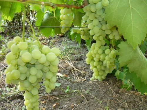 характеристика сорта виноград великий