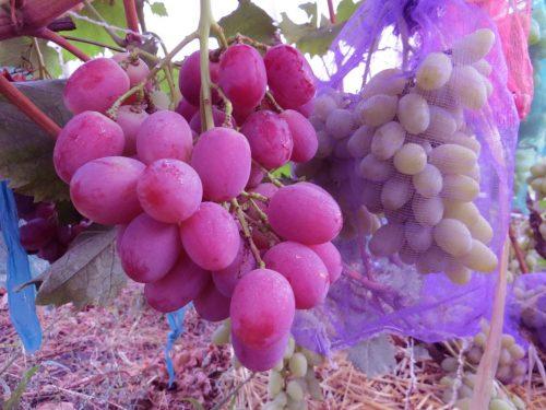 описание сорта виноград анюта